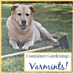 DIY Container Gardening: Varmints!