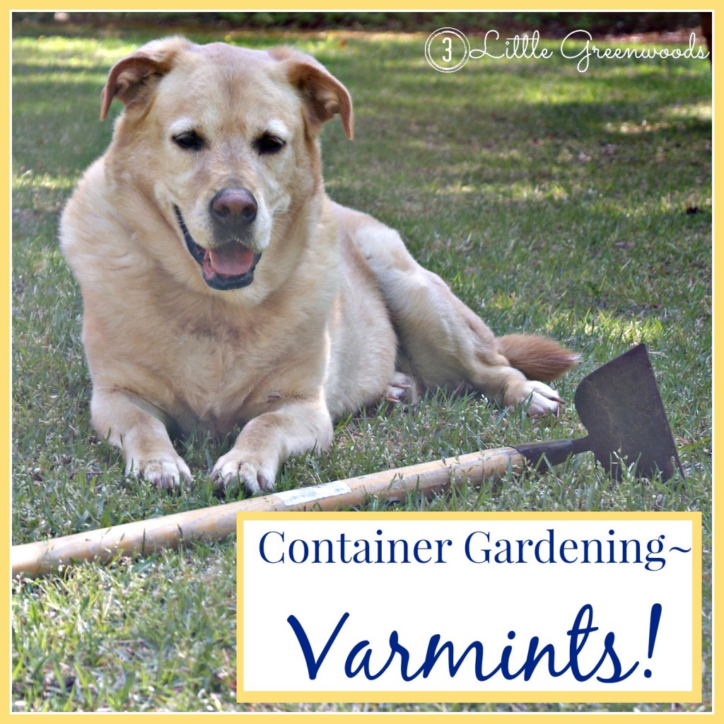 DIY Container Gardening: Varmints by 3 Little Greenwoods